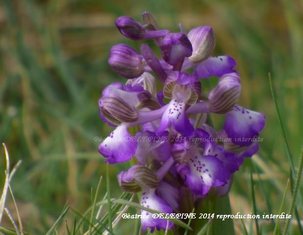 orchis bouffons ou anacamptis morio