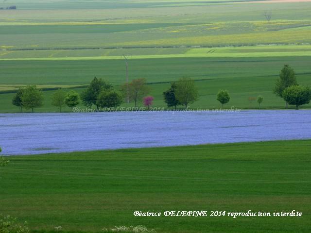 le bleu d'un champ de lin