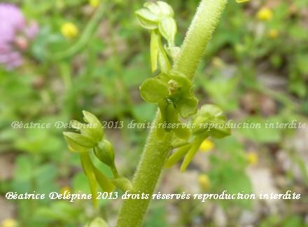 Certaines fleurs sont minuscules comme la fleur de listeria ovata