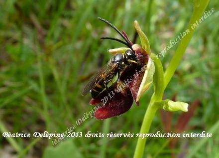 ophrys insectifera et son pollimisateur, c'est une prise de vue très rare