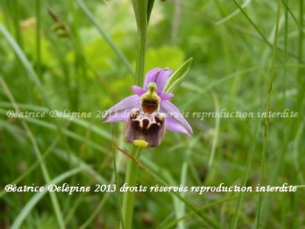 ophris fuciflora