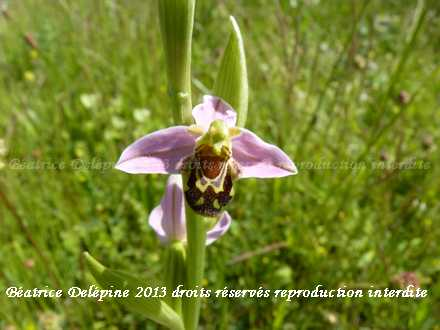ophrys apifera ou ophrys abeille