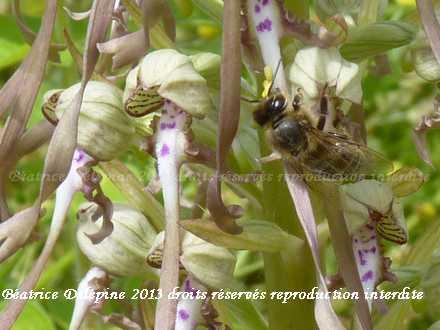 Orchidée bouc avec pollinisateur, on remarquera les pollinies sur la tête de l'abeille