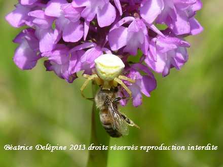araignée crabe et sa proie sur orchis pyramidal