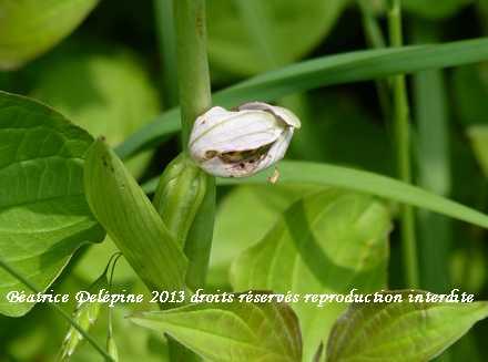 ophrys apifera fécondé