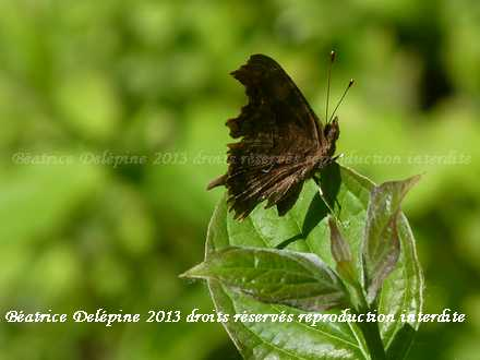 Papillon Gama ou Robert le Diable
