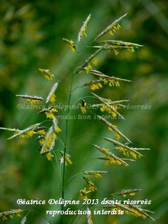 graminée en fleur