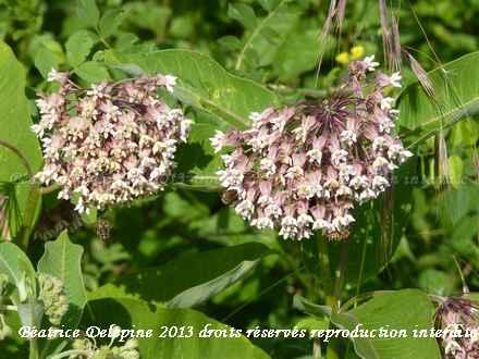 asclépias et abeilles