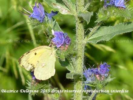 papillon fluoré sur vipérine