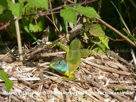 lézard vert mâle au soleil du matin