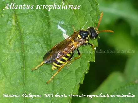 Allantus scrophulariae sur scrofulaire noueuse, cet hyménoptère ressemble à un guêpe sauf antennes et pattes jaunes