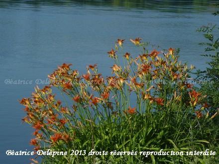 hémérocalles au bord du Rhône