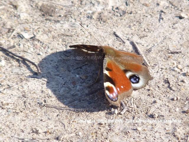 Papillon paon de jour le 24 février 2014