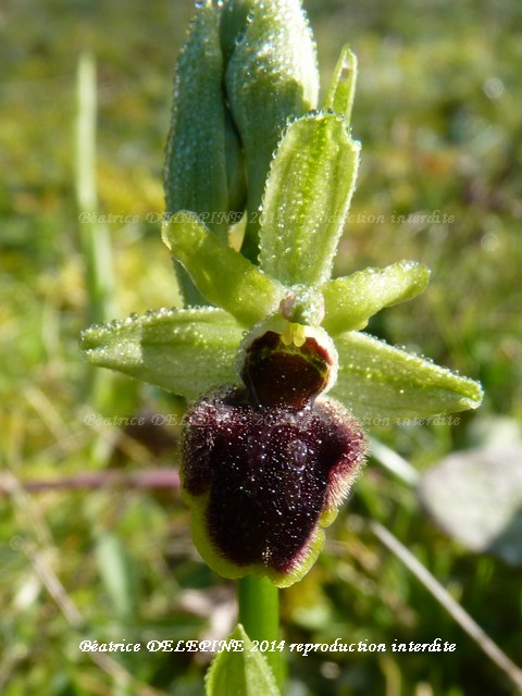 ophrys petite araignée sous la rosée du matin