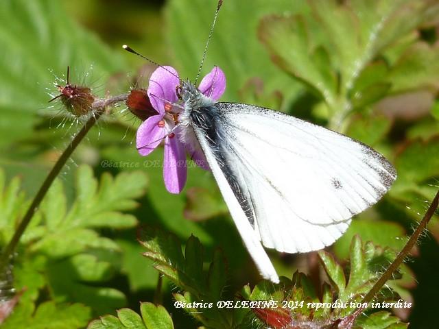 aurore femelle sur fleur d'herbe à robert