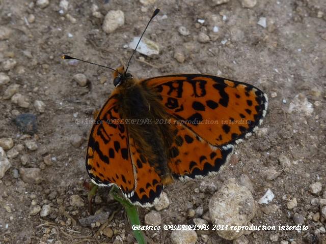 Papillon mélitée orangée mâl