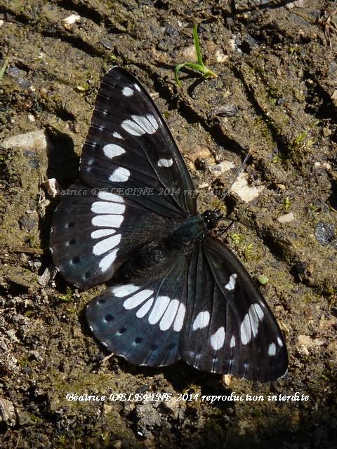 Papillon petit sylvain
