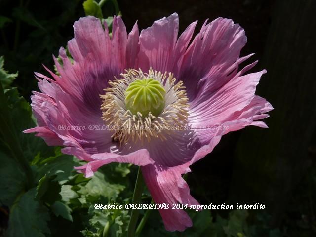fleur de pavot